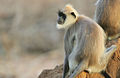 Flickr - Rainbirder - Tufted Grey Langur.jpg