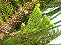 Flickr - brewbooks - Cable Bay, NZ - Norfolk Pine (3).jpg