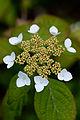 "Flower, Hydrangea ""Kurenai-Yamaajisai"" - Flickr - nekonomania (1).jpg"