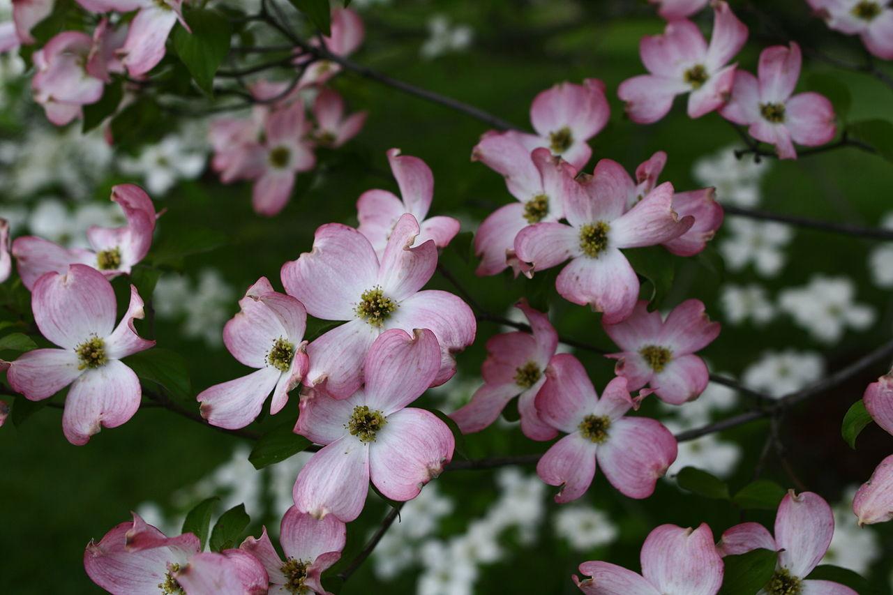 Fileflowering Tree Pink White West Virginia Forestwanderg