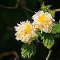 Flowers June 2013, Visit to the Botanics (9001078572).jpg