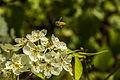 Flowers Nepal 10183.JPG