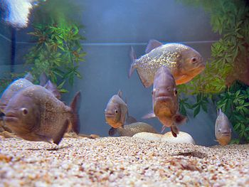 Keeping piranhas in an aquarium it 39 s not so difficult for Piranha fish tank