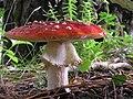 Fly Agaric mushroom 04.jpg