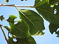 """Folhas de """"Escova-de-macaco"""" - Combretum fruticosum - Combretaceae - Liana semilenhosa - trepadeira 01.jpg"""