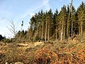 Forestry on Ewe Hill - geograph.org.uk - 639002.jpg