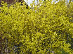 gul buske blommar tidigt
