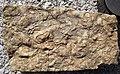 Fossiliferous limestone (Hinton or Bluefield Formation, Upper Mississippian; Rt. 460 roadcut between Oakvale & Kellysville, West Virginia, USA) 5 (30581720391).jpg