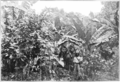 Fotg cocoa d066 trinidadian mixed crop cultivation of cacao.png