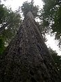 Founders Grove - Coast Redwood (Sequoia sempervirens) - Flickr - Jay Sturner (1).jpg