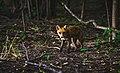 Fox in a spring forest (Unsplash).jpg