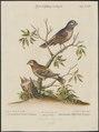 Fringilla angolensis - 1700-1880 - Print - Iconographia Zoologica - Special Collections University of Amsterdam - UBA01 IZ16000063.tif