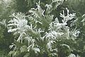 Frost on white cedar in fog 3.jpg