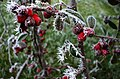 Frosty berries, Omagh - geograph.org.uk - 694413.jpg