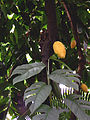 Fruiting Cocoa.jpg