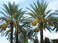 Fruitingdatepalms.JPG