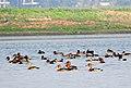 Fulvous Whistling Duck Dendrocygna bicolor Deepor Beel by Dr Raju Kasambe DSCN8297 (2).JPG