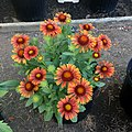 Gaillardia-arizona-red-shades-IMG-8661.jpg