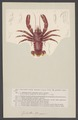 Galathea strigosa - - Print - Iconographia Zoologica - Special Collections University of Amsterdam - UBAINV0274 006 02 0012.tif