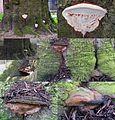 Ganoderma adspersum or G. australe or G.tornatum (GB= Polyporus Australis or Southern Bracket, D= Wulstige Lackporling, F= Ganoderme d'Europe, NL= Dikrandtonderzwam) brown spores and causes white rot, at Leeuwarden. T - panoramio.jpg