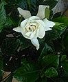 Gardenia20200805 ohs01.jpg