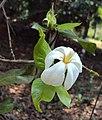 Gardenia gummifera 05.JPG