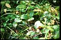 Gaultheria procumbens 1-eheep (5097879860).jpg