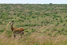 Gazelle in Virunga National Park.jpg
