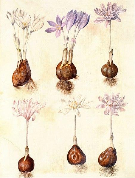 File:Gc23 colchicum autumnale.jpg