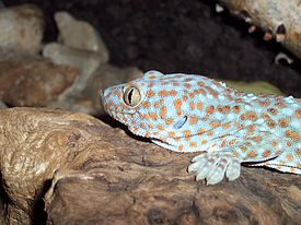 Gekko gecko front left by Robert Michniewicz.jpg