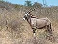 Gemsbok (Oryx gazella) female ... (50917402268).jpg