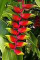 Genf-Botanik 12 Dracaena-fragrans.JPG