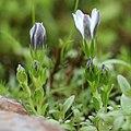 Gentiana thunbergii var. minor f. ochroleuca (bud s2).jpg