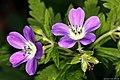 Geranium sylvaticum geranio dei boschi.jpg