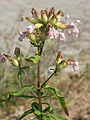 Gewöhnliches-Seifenkraut Blütenstand2 6054.jpg