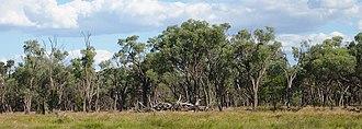Acacia cambagei - Image: Gidgee woodland
