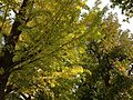 Ginkgo biloba trees with yellow leaves in Fujita Park in Hakata, Fukuoka.JPG