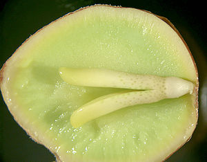 Seed - The inside of a Ginkgo seed, showing a well-developed embryo, nutritive tissue (megagametophyte), and a bit of the surrounding seed coat