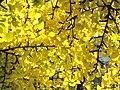 Ginkgo leaves (Vaires) 2.jpg