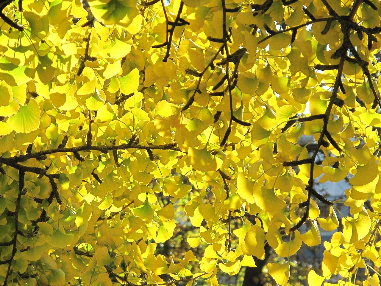 Hojas y ramas de Ginkgo biloba, en el parque Aulnay, Vaires-sur-Marne (Francia). /Imagen: Wikipedia.