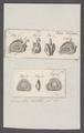 Gioenia spec. - - Print - Iconographia Zoologica - Special Collections University of Amsterdam - UBAINV0274 081 04 0005.tif