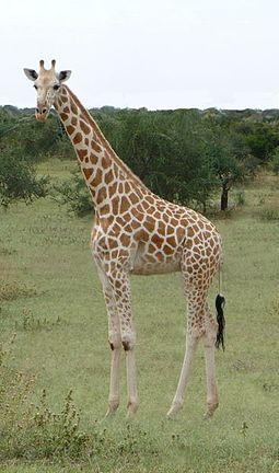 Giraffa_camelopardalis