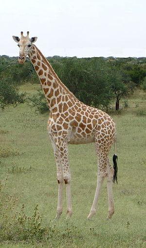 Northern giraffe - A West African giraffe (G. camelopardalis peralta).