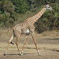 Giraffe Walking Square.JPG