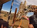 Giraffe nibbling on a carrot.JPG