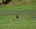 Glossy Ibis (11670685854).jpg