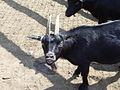 Goat Mexico yumka zoo.JPG