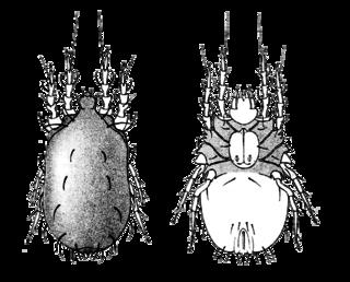Glycyphagidae family of arthropods