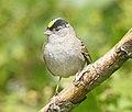 Golden-crowned Sparrow DSC4661vv.jpg