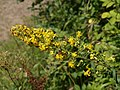 Golden rod - geograph.org.uk - 536399.jpg